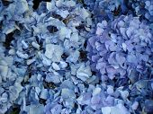 Постер, плакат: Голубой цветок гортензия