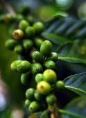 Coffee Plant. Coffee beans growing on a branch of coffee tree. Branch of a coffee tree with ripe fru poster