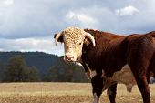 pic of hereford  - A high country Hereford bull standing in a paddock - JPG