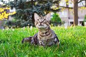 Beautiful Tabby Striped Cat With Green Yellow Eyes Sitting In Grass Outside Exploring Area. Animal D poster