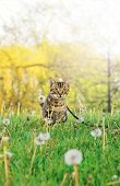 Beautiful Tabby Striped Cat With Green Yellow Eyes Sitting In Grass Outside. Animal Domestic Feline  poster