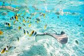 image of stingray  - Colorful fish - JPG