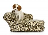 cute puppy - cavalier king charles spaniel sitting on a dog bed isolated on white background