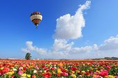 picture of buttercup  - Bright striped balloon flies over a field of colorful garden of buttercups - JPG