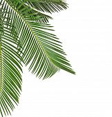 Border of Palm leaves close up  isolated on white background,