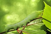 stock photo of green caterpillar  - Caterpillar on green leaf - JPG