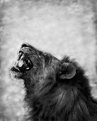foto of growl  - Black and Wite image of a Lion Displaying Teeth - JPG