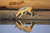 Black-backed Jackal (Canis Mesomelas) at waterhole