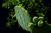 stock photo of nopal  - Pricky pear cactus with thorns and four pears - JPG