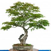 image of bonsai  - Japanese maple tree  - JPG