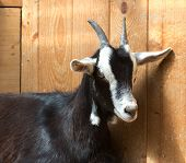 picture of cashmere goat  - Portrait of a beautiful luxurious cashmere goat - JPG