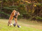 Young Foxes Honing Their Hunting Skills