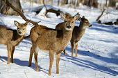 foto of deer family  - Deer family in snow - JPG
