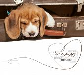 foto of puppy beagle  - Little beagle puppy came out from old suitcase - JPG