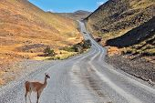 A graceful guanaco is on the road between the hills and listens carefully. Patagonia national park T