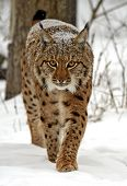 stock photo of bobcat  - Bobcat in their natural habitat in winter - JPG