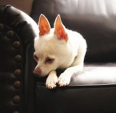 foto of chihuahua mix  - a cute chihuahua on a couch  - JPG
