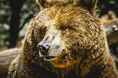 zoo, beautiful and furry brown bear, mammal poster