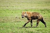 stock photo of hyenas  - Hyena wandering the plains of the Serengeti National Park - JPG