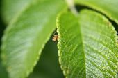 stock photo of baby spider  - A tiny baby spider crawling up a leaf edge