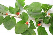 foto of mulberry  - Twig of black mulberry  - JPG