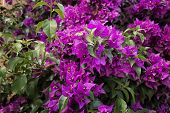 pic of glorious  - Bougainvillea glabra - JPG