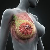 image of sternum  - Female Breast Anatomy Illustration  - JPG