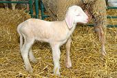 picture of baby sheep  - Sheep and small baby lamb in pen - JPG