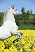 picture of lipizzaner  - Amazing white lipizzaner stallion prancing in spring - JPG