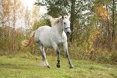 image of arabian horse  - White arabian horse galloping free in autumn - JPG