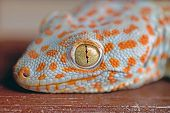 stock photo of gekko  - Closeup of a Tokay Gecko Gekko gecko head and eye - JPG