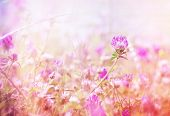 picture of red clover  - Flowering red clover in meadow close up - JPG