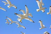 image of swarm  - swarm of sea gulls flying close to the beach of mykonos islandGreece - JPG