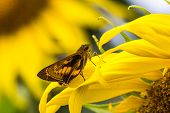 picture of butterfly-bush  - Bush Hopper Butterfly  - JPG