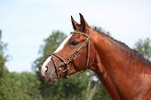 foto of bridle  - Bay latvian sport horse with bridle portrait in summer - JPG