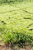 foto of citronella  - A View of a tea plantation in Tanzania clearly showing the fastness of the farm and the little walkways inbetween the tea plantations - JPG
