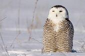 foto of snowy owl  - Snowy Owl in the winter in Wisconsin - JPG