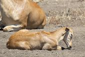 stock photo of calves  - A calf of hartebeest  - JPG