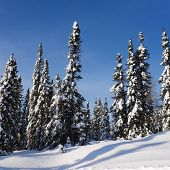 image of blanket snow  - scenic instagram of trees covered in snow in wintertime on a clear day - JPG