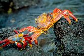 picture of crustations  - red crabs in rocks galpagos islands ecuador closeup - JPG