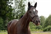 pic of breed horse  - Black latvian breed horse portrait at the countryside in summer - JPG
