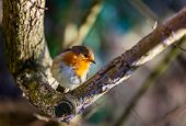 foto of robin bird  - Small robin bird sitting on the branch of a tree - JPG