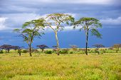 stock photo of rainy season  - Rainy day in the african savannah and three trees Serengeti Tanzania - JPG