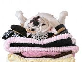 image of laying-in-bed  - spoiled dog laying on a pile of soft dog beds isolated on white background  - JPG