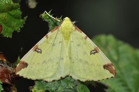 stock photo of moth  - Brimstone Moth - Opisthograptis luteolata