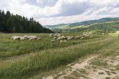 image of pieniny  - Sheeps on Homole Mount in Pieniny Mountains Poland  - JPG