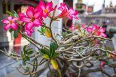 stock photo of desert-rose  - Desert rose or Impala lily - JPG