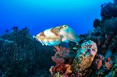 pic of cuttlefish  - A large Cuttlefish swims across a coral reef - JPG