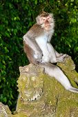 picture of macaque  - A long-tailed Macaque sits on a moss covered statue in Ubud Bali