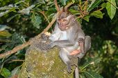 foto of crab  - A crab eating macaque monkey perched on a moss covered statue  - JPG